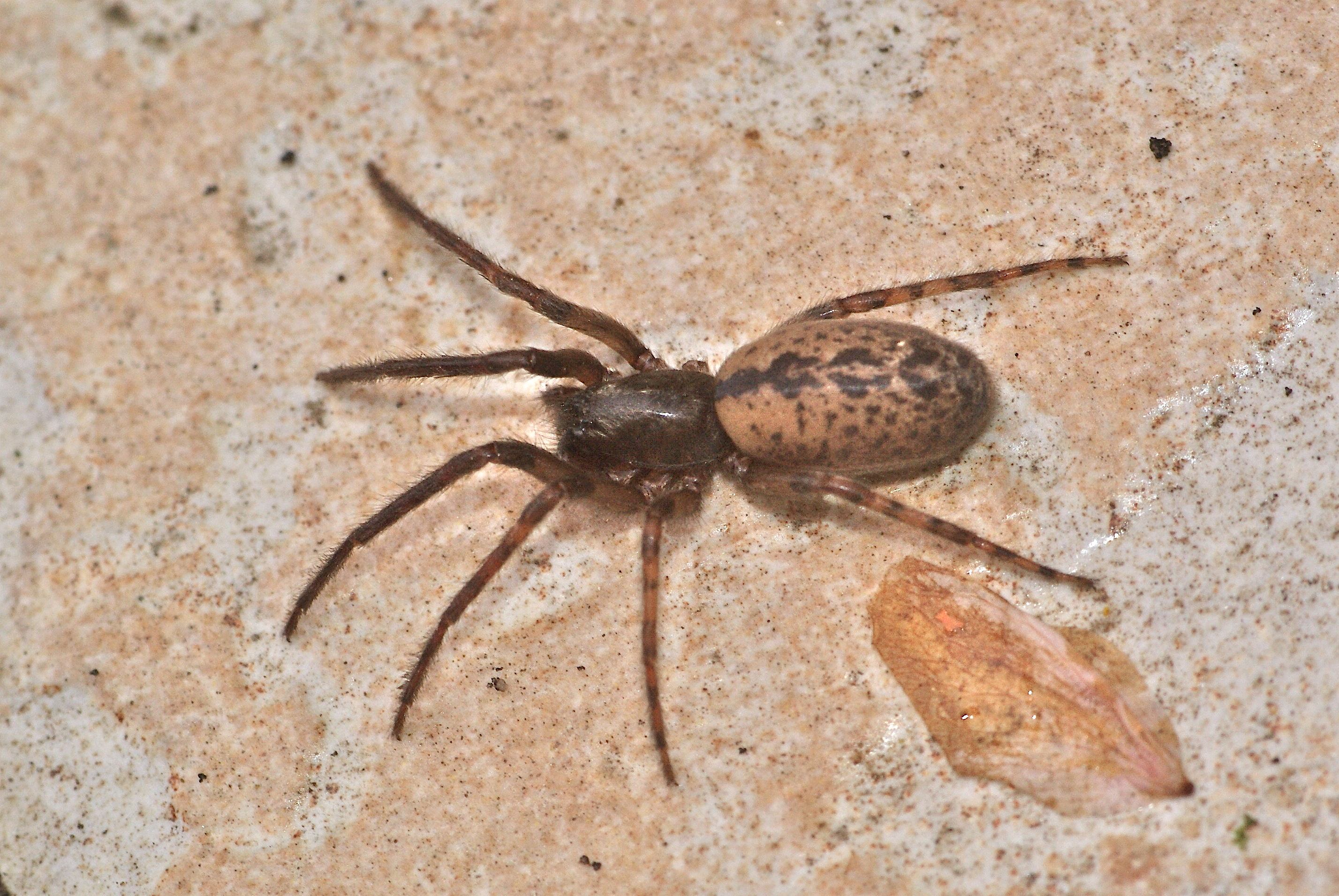 Arachnides Photos et clés de détermination