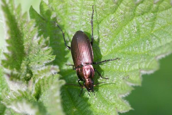 Poecilus Cupreus Poecilus Cupreus