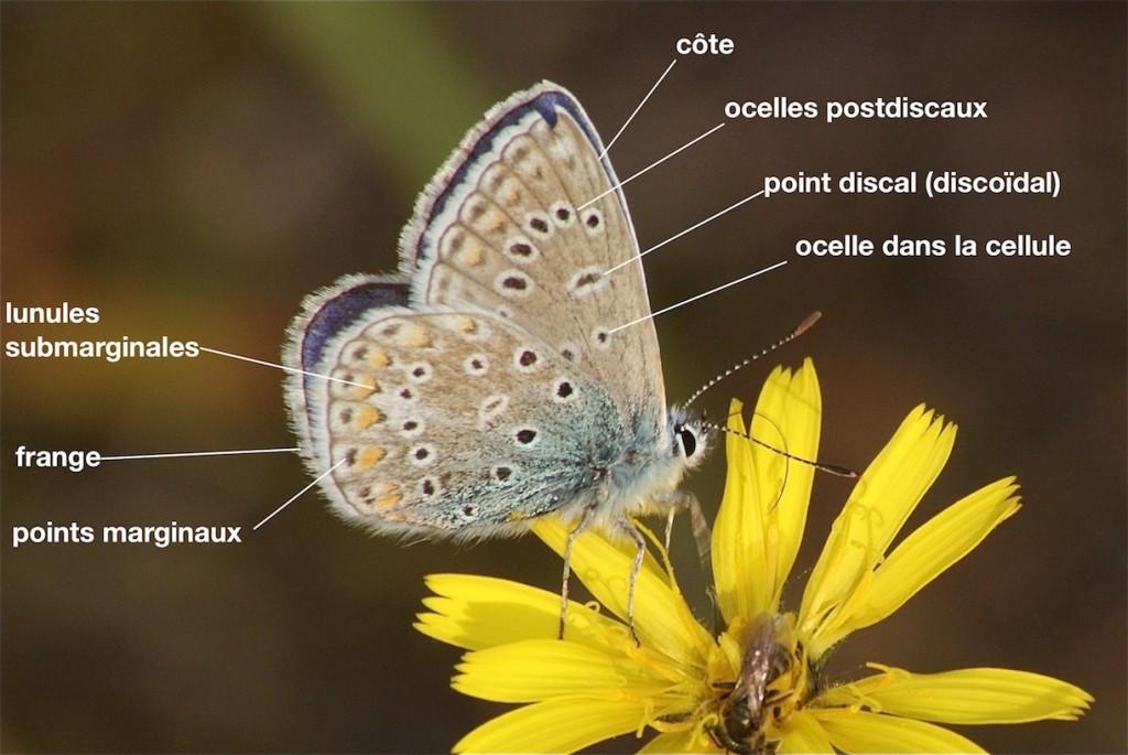 Motifs des ailes de Lycaenidae