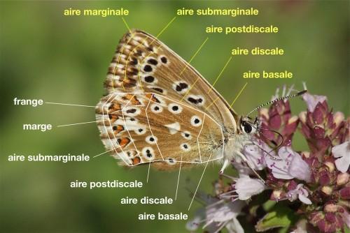 Zones des ailes de Lycaenidae