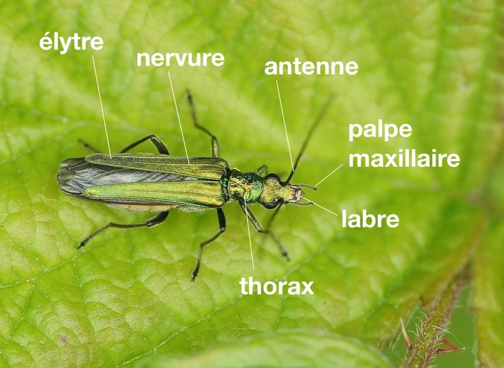 anatomie d'un Œdemeridae