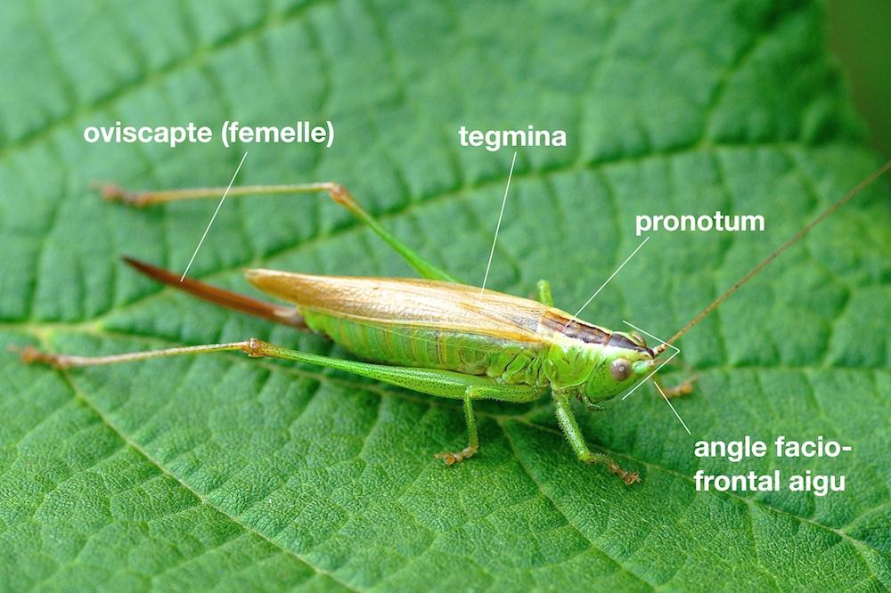 anatomie d'un Conocephalidae