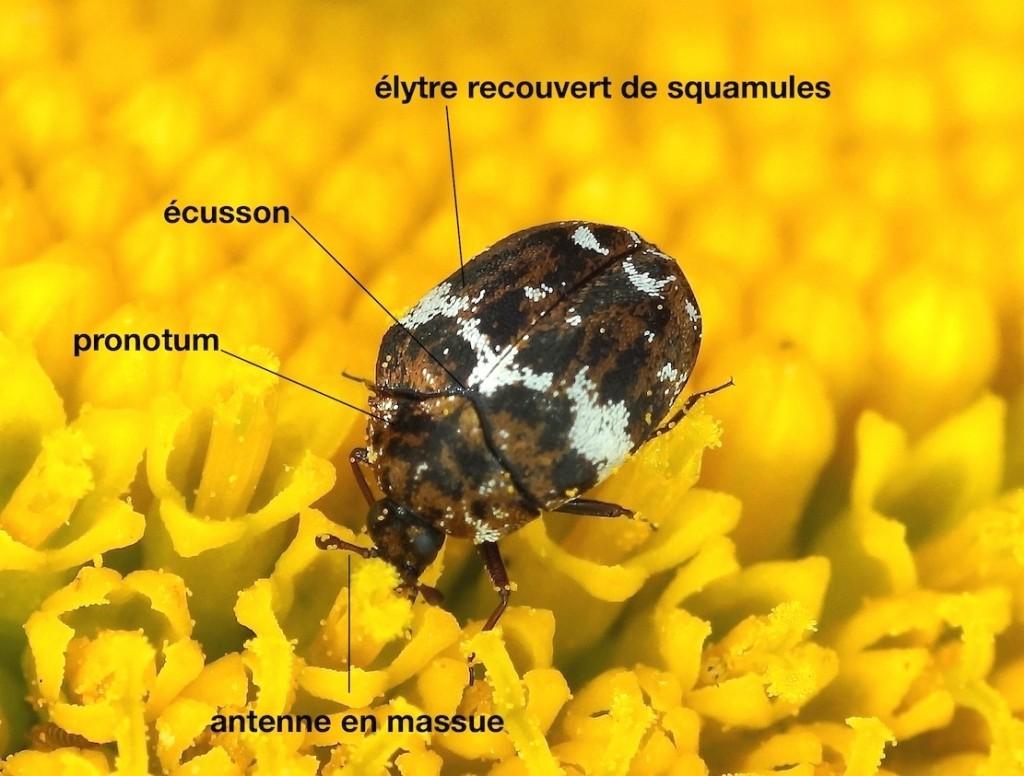 anatomie d'un Dermestidae