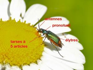 anatomie d'un Malachiidae