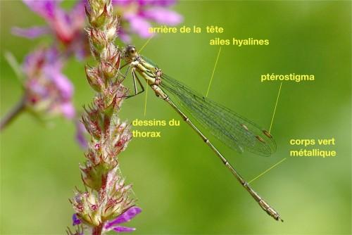 Anatomie d'un Lestidae