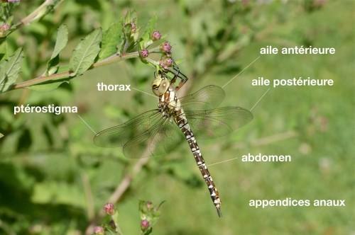 anatomie d'un Aeshnidae