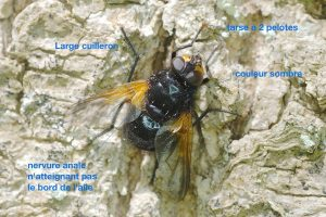 anatomie-dun-muscidae