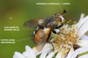 anatomie-dun-tachinidae