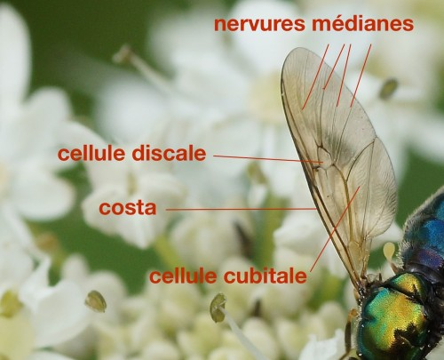 nervation alaire d'un Stratiomyidae