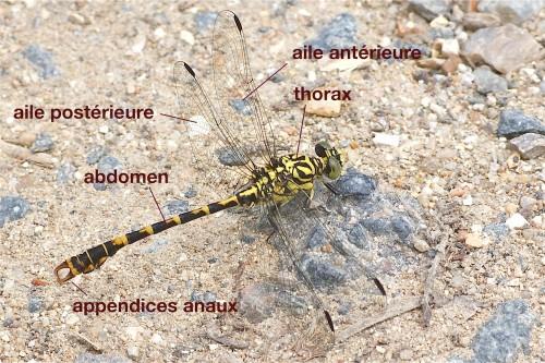 anatomie d'un Gomphidae