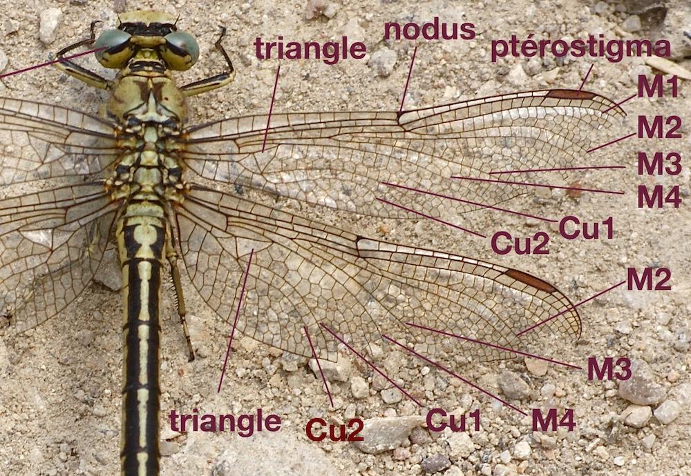 nervation alaire d'un Gomphidae