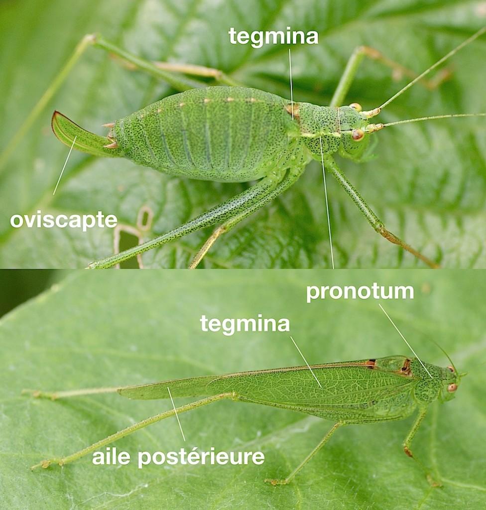 anatomie des Phaneropteridae