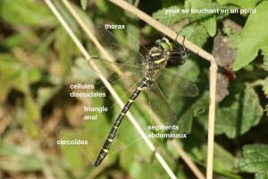 anatomie d'un Cordulegastridae