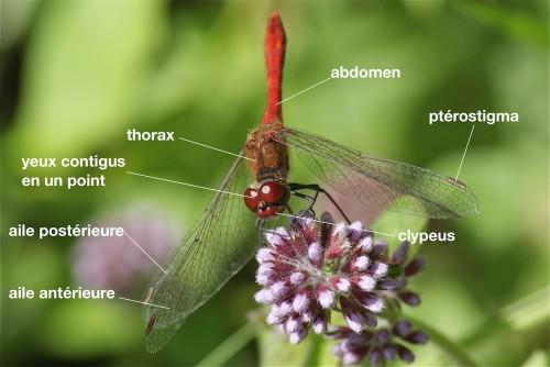 anatomie d'un Libellulidae
