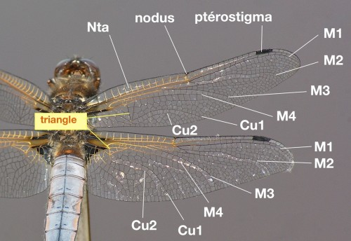 nervation alaire d'un Libellulidae