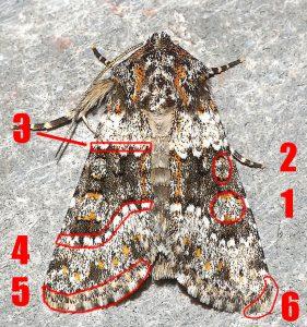 Les motifs permettant de déterminer un Noctuidae