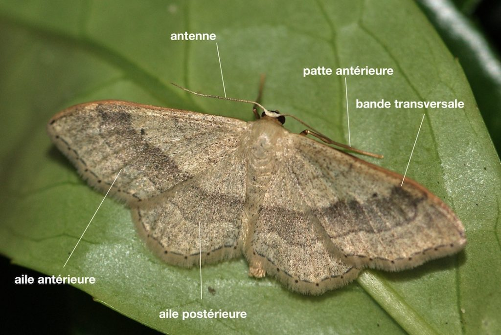 Anatomie d'un Geometridae