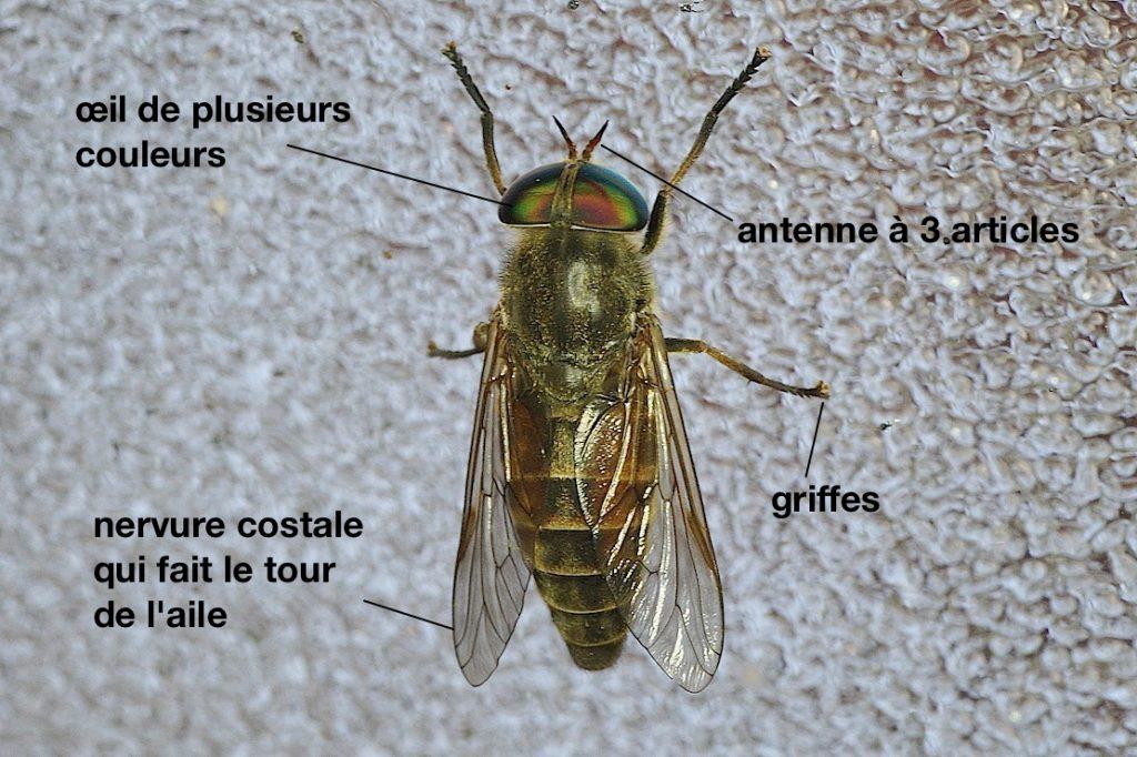 Anatomie d'un Tabanidae