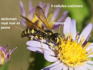 Anatomie d'un Crabronidae