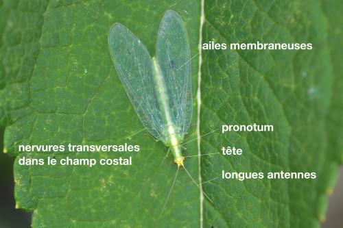 anatomie d'un Chrysopidae