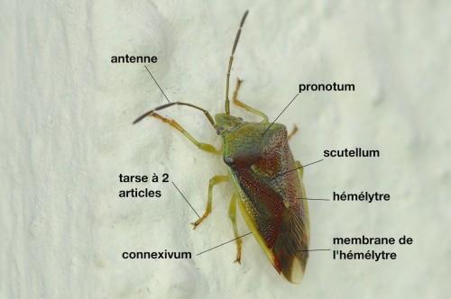 anatomie d'un Acanthosomatidae