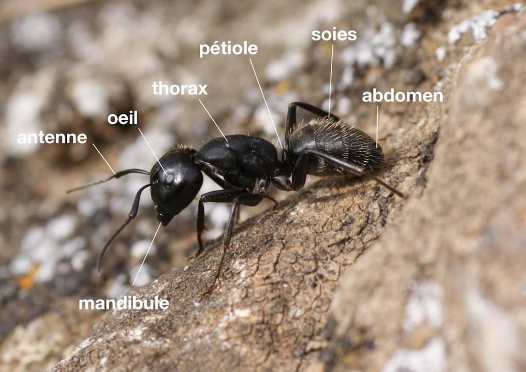 anatomie d'un Formicidae