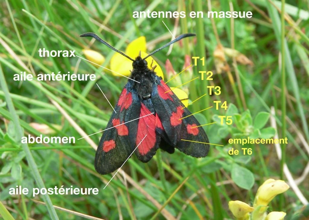 anatomie d'un Zygaenidae