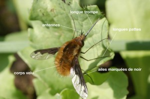 anatomie d'un Bombyliidae