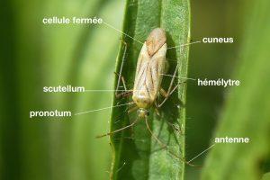anatomie-dun-miridae