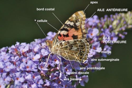 anatomie d'un Nymphalidae