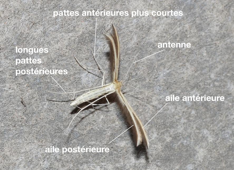 anatomie d'un Pterophoridae