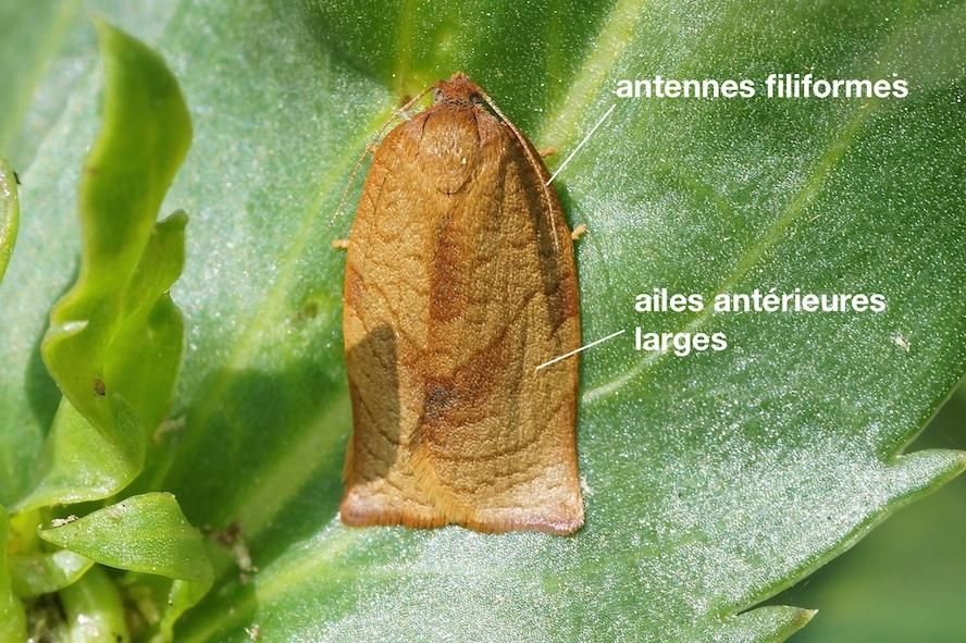 anatomie-dun-tortricidae
