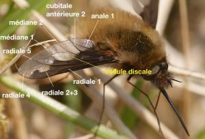 nervation alaire de Bombyliidae