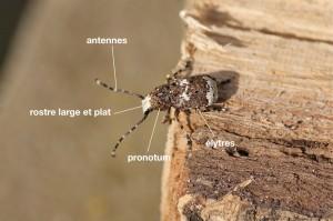 anatomie d'un Anthribidae
