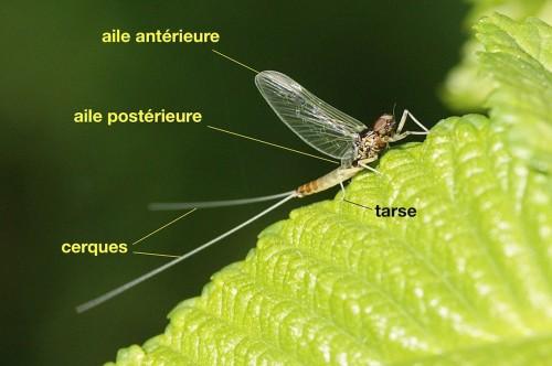 anatomie d'un Baetidae
