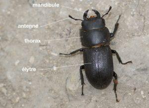 Anatomie d'un Lucanidae