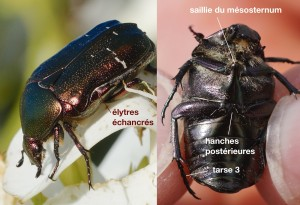 anatomie d'un Cetoniidae