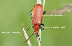 anatomie d'un Pyrochroidae