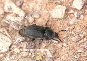 anatomie d'un Silphidae