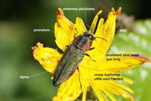 Anatomie d'un Buprestidae