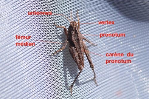 anatomie d'un Tetrigidae