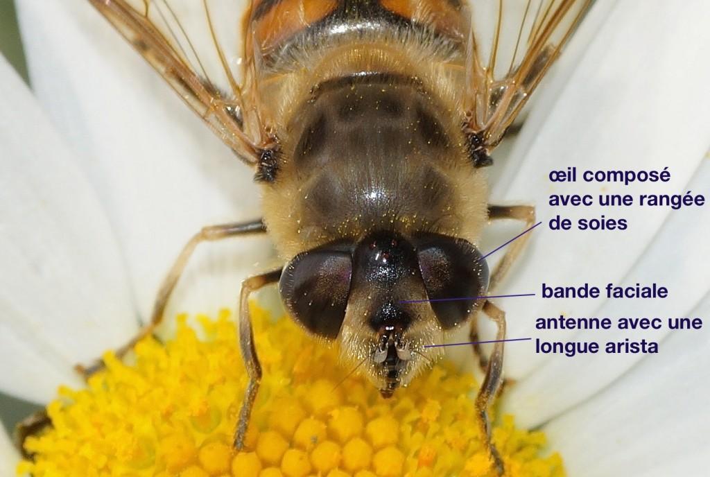 face de Syrphidae (Eristalis tenax)