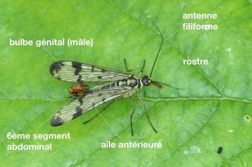 anatomie d'un Panorpidae