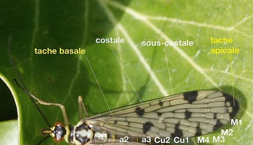 nervation alaire de Panorpidae
